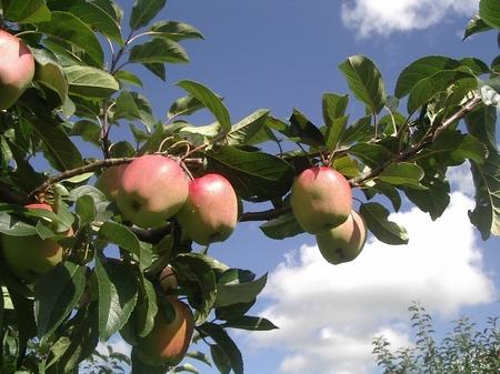 Malte Batram: Apfelbaum