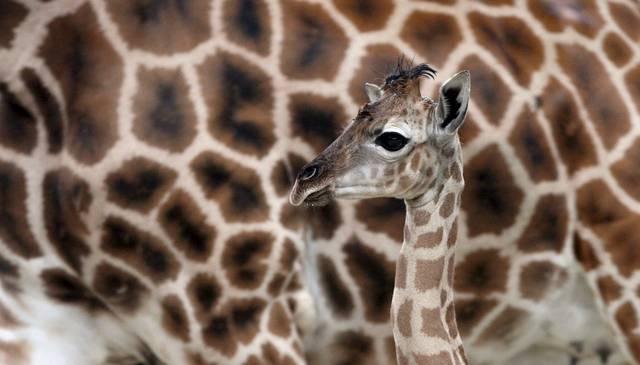 giraffeberlin.jpg