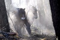 Zugpferde helfen in Hilversum, Niederlande, beim Ausholzen. (Keystone / EPA / Mark Prins)