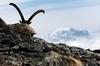 Ein Steinbock versteckt sich hinter einem Stein auf der Fuorcla Muragl, 3000 Meter über Meer, am Dienstag, 30. September 2008 bei Samedan im Engadin. (Keystone / Allessandro Della Bella)