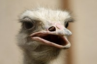 Strauss im Zoo der Saudischen Hauptstadt Riyadh. Hat der was in der Nase? (Keystone / AP / Hassan Ammar)