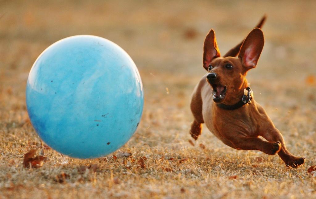 Der Zwergdackel Wrigley hat sich wohl übernommen, indem er im Brittingham Park in Madison, USA, diesem Ball nachjagt. (Keystone)