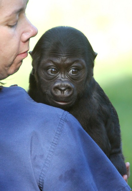 Gorillababy San Francisco (Keystone)