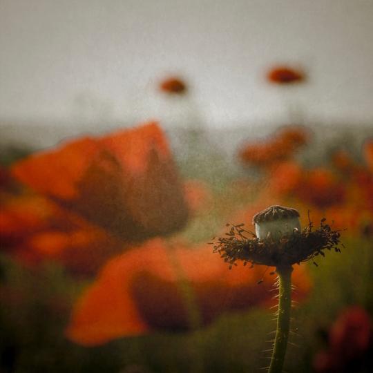 Papaverous (© Magdalena Wanli)