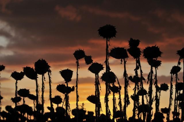 Sonnenblumenernte (Keystone)