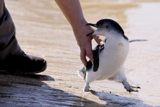 Pinguin Freilassung (Keystone)