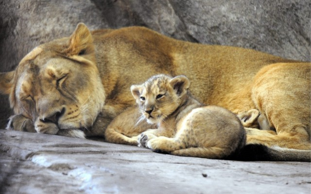Löwenmutter mit Jungem (Keystone)