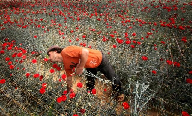 Wirtschaft Blumen Palästina (Keystone)