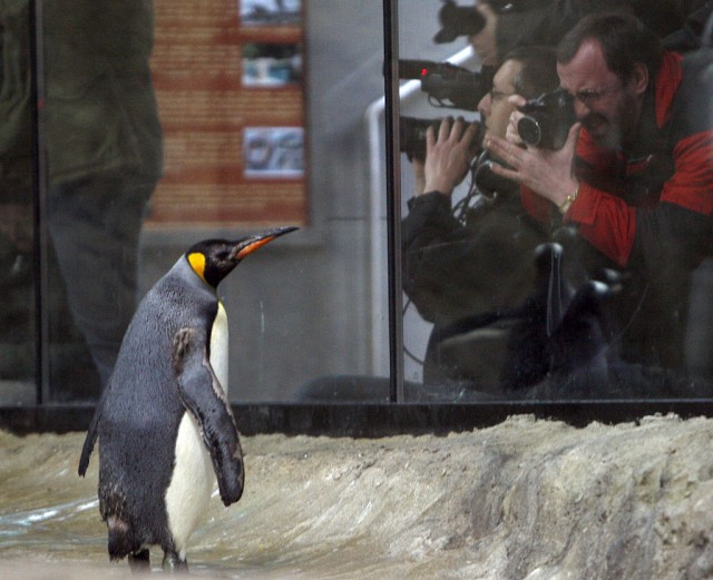 Königs-Pinguin (Keystone)