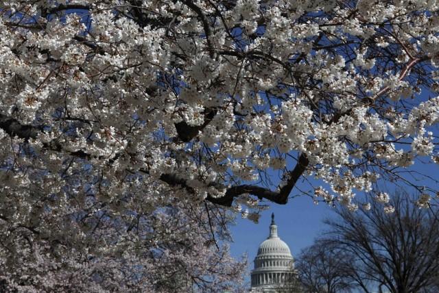 Kirschblüte Kapitol (Keystone)