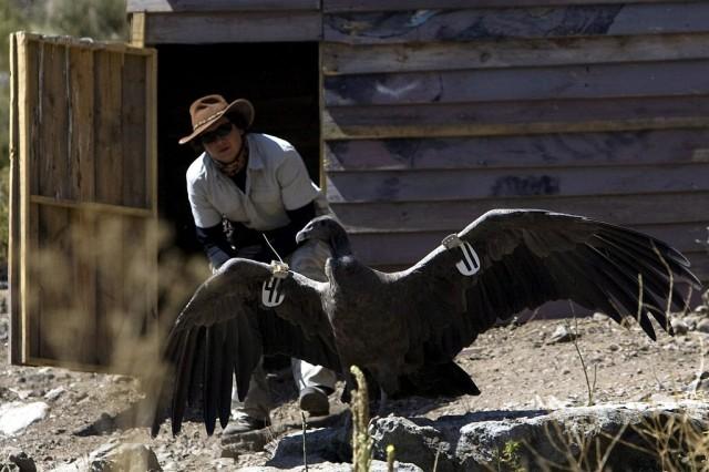 Condor Yerba Loca (Keystone)