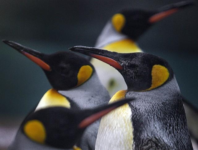 Königs-Pinguine (Keystone)