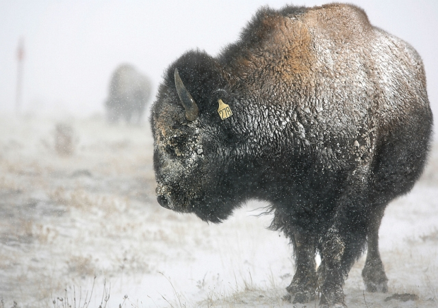 Bison in Wyoming