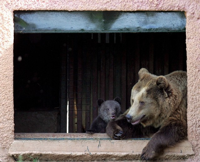 Bären am Fenster (keystone)