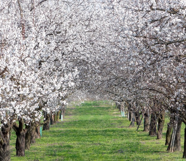 Aprikosenblüte in Wachau (keystone)
