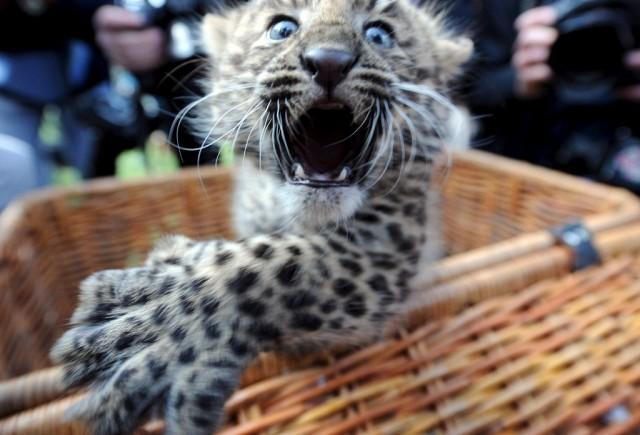 Chinesischer Leopard (keystone)