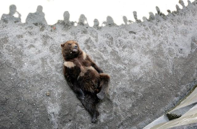 Pedro im Bärengraben (keystone)