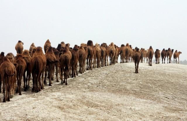 100 Kamele in Jericho (Keystone)