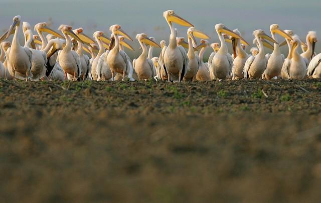 Pelikane pausieren (keystone)