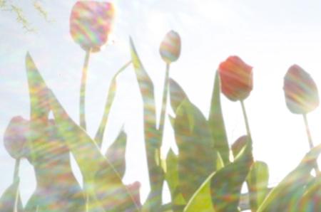 Uwe Darmstädter: Tulpen. Kamera Canon 5D