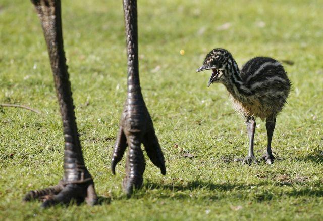 Kleiner Emu (Keystone)