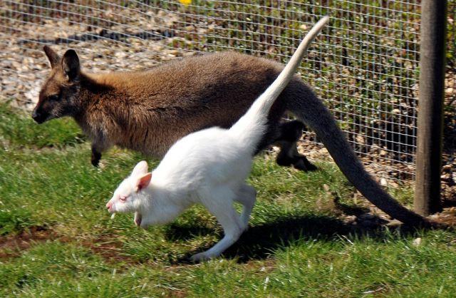 Albino Känguru (Keystone)