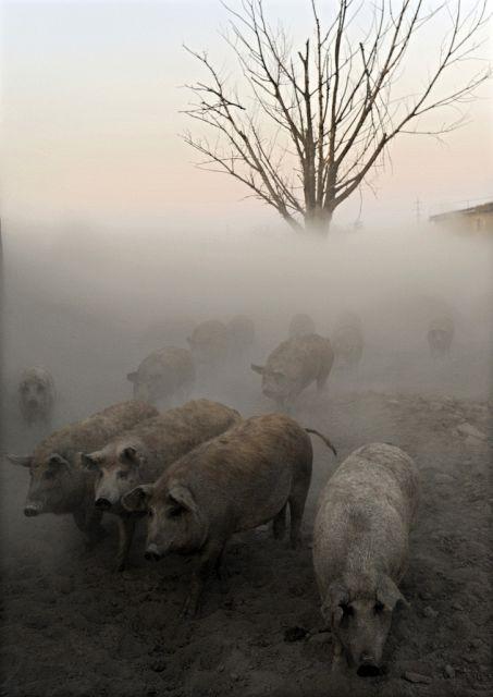 Mangalitsa Wollschweine im Nebel (Keystone)