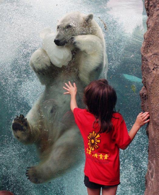 Eisbär unter Wasser (keystone)