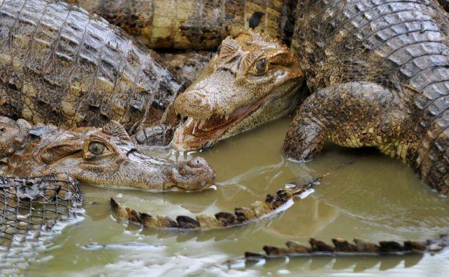 Krokodile (keystone)