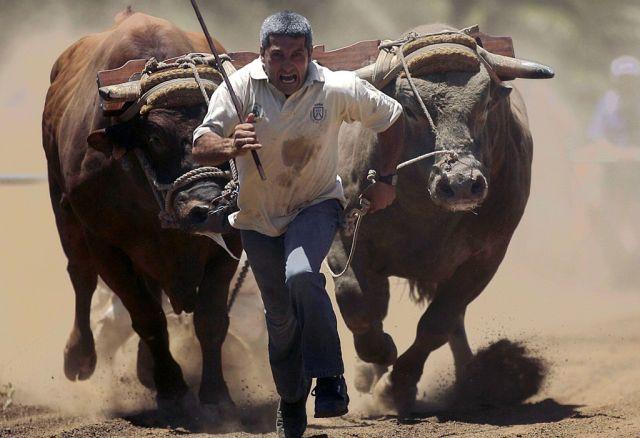 Gewichtziehen mit Vieh (keystone)