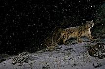 Steve Winter: Leopard im Schneesturm.
