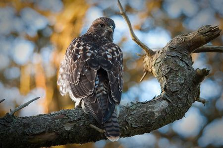 Junger Hawk im Golden Gate Park - etwas langweilig...( PS)