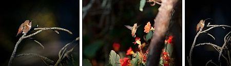 Interessant wird der Kolibri, wenn er fliegt oder mir die Zunge rausstreckt (© ps)