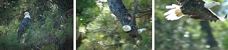 Weisskopfadler: Mit dem langsamen Autofokus nicht zu erhaschen. (© ps)