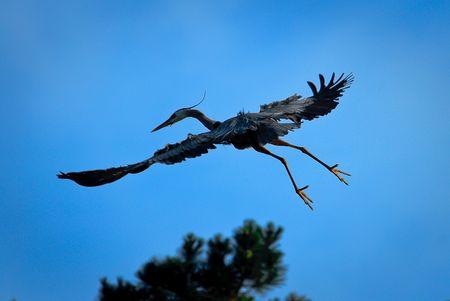 Blaureiher im Nestanflug (© ps)