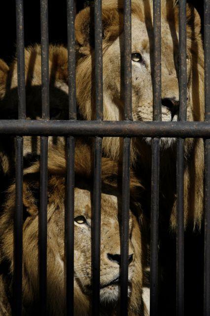 Zwei Löwen in Havanna (keystone)