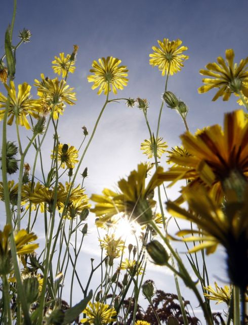 Sommersonneblumen (keystone)