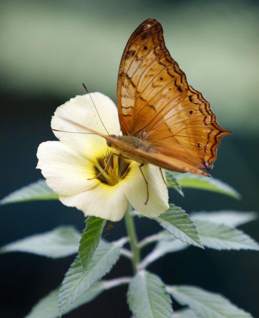 Schmetterling (keystone)