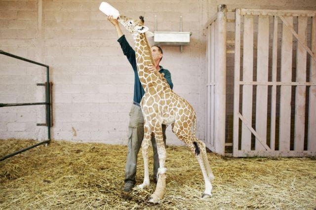 Darwin, das Giraffenkind (keystone)