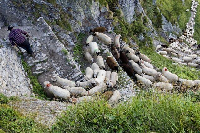 Schweizer Schafe (keystone)