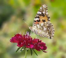 Der gleiche Schmetterling, in Photoshop freigestellt.