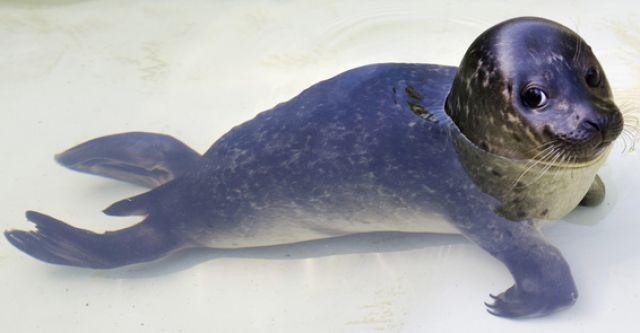 Kleiner Seehund (keystone)
