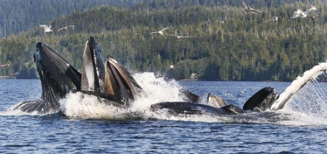Wale beim Fischen (keystone)