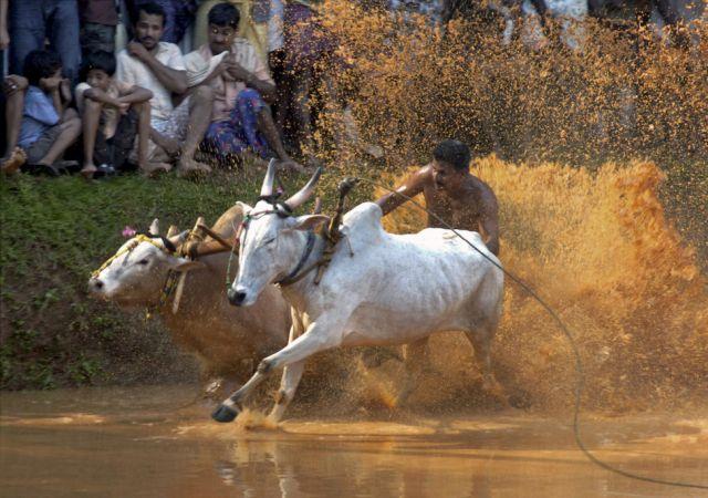 Büffelrennen (keystone)