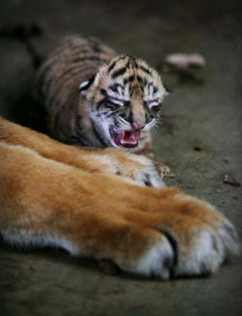 Neugeborener Sumatra-Tiger(keystone)