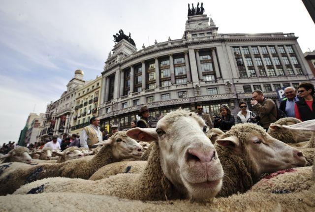 Schafe in Madrid (keystone)