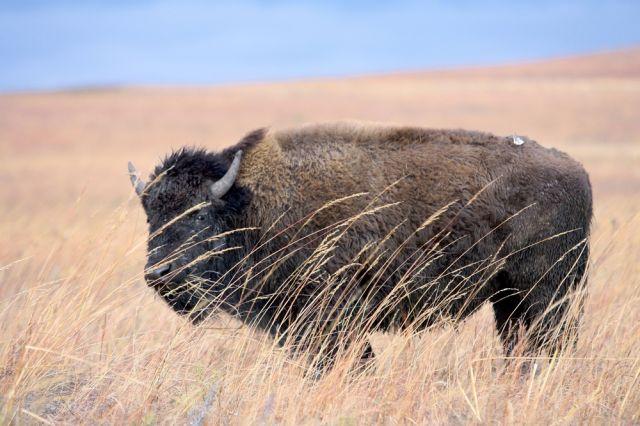Junger Bison (keystone)