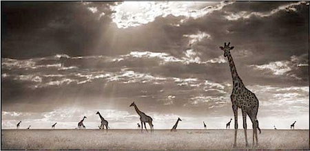Nick Brandt: Giraffes in Evening Light, Maasai Mara, 2006