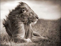 Nick Brandt: Lion before Storm II, Sitting Profile, Maasai Mara, 2006