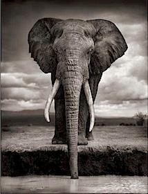 Nick Brandt: Elephant Drinking, Amboselis, 2007